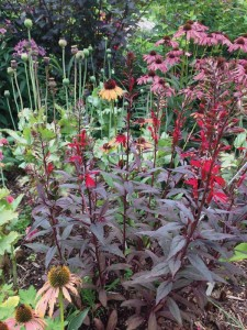 A 'Black Truffle' cardinal flower. Photo courtesy of Plants Nouveau