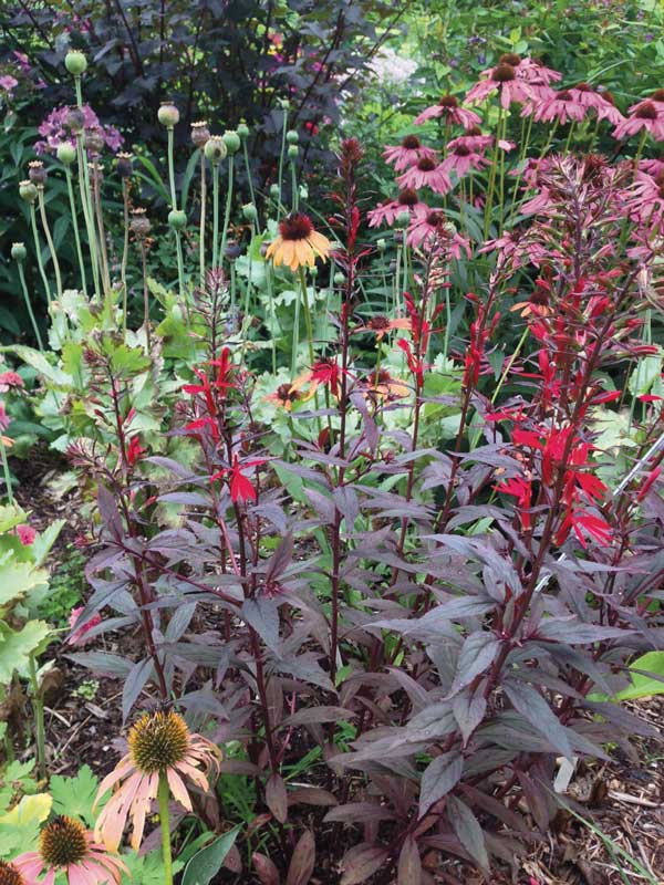 New plants for 2016 hydrangea help and a seed plea southwest journal a black truffle cardinal flower photo courtesy of plants nouveau mightylinksfo Image collections