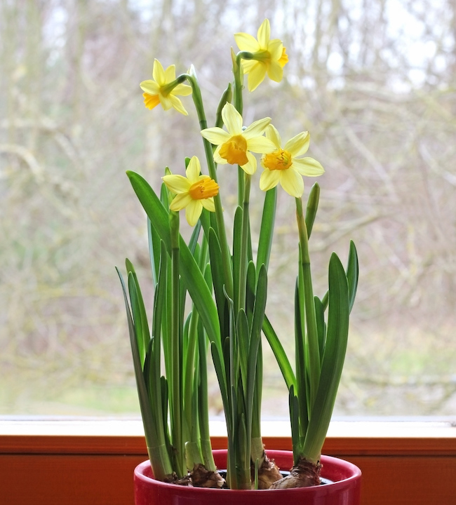 yellow daffodils in pot on window sill